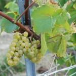 Chardonnay à maturité en Montagne de Reims