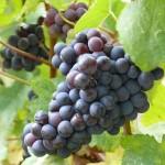 Pinot noir en Montagne de Reims