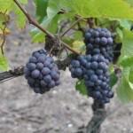 Pinot noir Champagne, secteur Villedommange