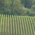 Vignes à Verzenay, village classé à 100% en Grand Cru en Champagne