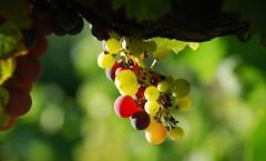veraison raisin