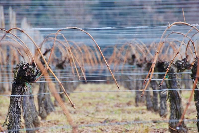 vignoble d'alsace en hiver