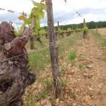Vignoble du château de Fosse-Sèche à Brossay dans le Saumurois