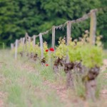 Vignoble du château de Fosse-Sèche à Brossay