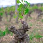 Viticulture au château de Fosse-Sèche