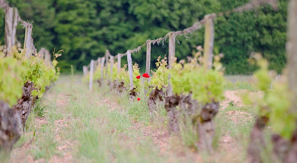vignoble du château de Fosse-Sèche
