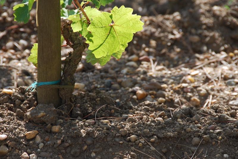 vigne et sol