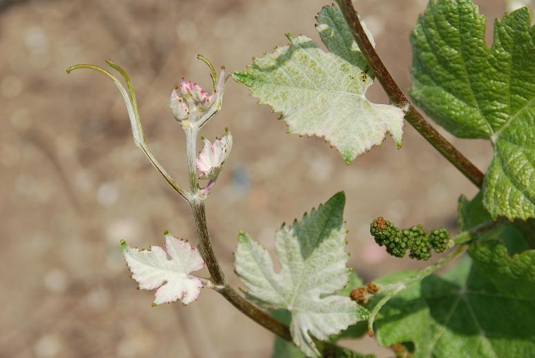 feuilles de pinot meunier